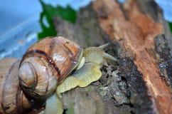 Snail. Gastropod. Gastropod. Common garden snail. Fauna of Ukraine stock images