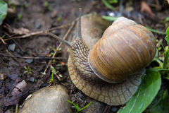 Snail gastropod mollusk with spiral sheath Stock Images