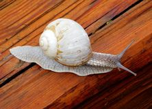 Snail gastropod mollusk with spiral sheath. On natural blurred background close-up royalty free stock images