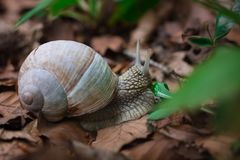 Snail gastropoda feeding up with green grass in undergrowth fore. Grape snail gastropoda feeding up with green leaf grass in undergrowth forest close-up Stock Photography