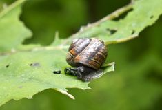 Snail Gastropoda, Helix pomatia  on a leaf of a burdock.  Stock Photo