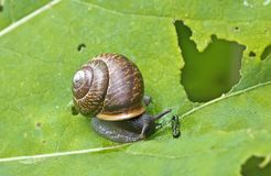 Snail Gastropoda, Helix pomatia  on a leaf of a burdock.  Royalty Free Stock Images