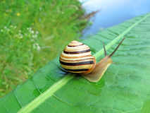 Snail (gastropoda mollusc) on green leaf, nature,. One color snail (gastropoda mollusc) on green leaf, nature details Stock Photo