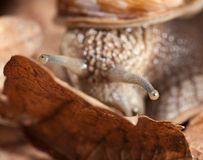 Snail gaze Royalty Free Stock Photo