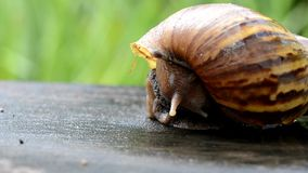 A snail is getting back to his shell stock footage