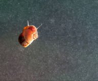 A snail on a glass surface. Royalty Free Stock Image