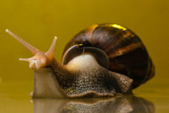Snail on the glass Stock Photos