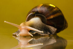 Snail on the glass Stock Images