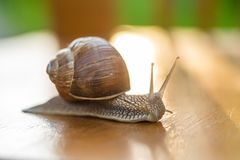 Snail gliding, close up royalty free stock photos