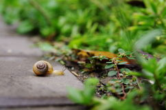 A Snail. Is going in a garden Royalty Free Stock Photos