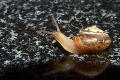 Snail on granite. A light brown snail crawling on a black and white speckled granite counter top Stock Photo