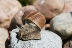 Snail on a granite Stock Image