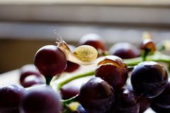 Snail on grape Royalty Free Stock Image
