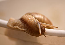 Snail. Grape snail crawling slowly on the table stock photos