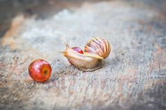 Snail with grape on old wooden table. Snail with grape on old wooden table, at the garden Royalty Free Stock Images