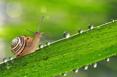 Snail on  grass. Small snail on dewy green grass Royalty Free Stock Image