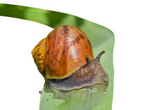 Snail on grass-blade 7 Stock Photos