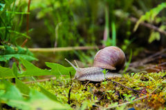 Snail on the grass Stock Images