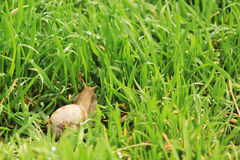 Snail on the grass Royalty Free Stock Image