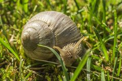 Snail in the grass Royalty Free Stock Photo