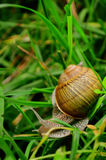 Snail in grass. Photograph captured in Casoca, Buzau, Romania Royalty Free Stock Image