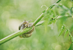Snail on a grass stalk Stock Photo