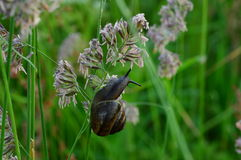 Snail on the grass stalk early in the morning in the field Stock Photos