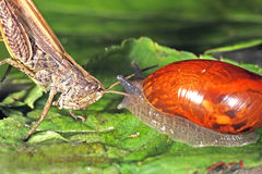 The snail, and the grasshopper sitting on the leaf Royalty Free Stock Photo