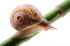 Snail on a green bamboo stem Stock Images