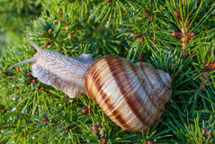 Snail on green branches of a fur-tree or pine Royalty Free Stock Photography
