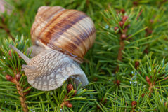Snail on green branches of a fur-tree or pine Stock Photos