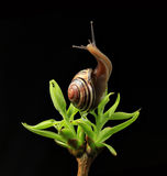 Snail on green budding leaves Stock Photos