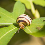 Snail on green fig leaf Stock Photo