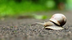 Snail on green foliage background stock video