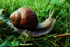 Snail in Green Garden Royalty Free Stock Photo