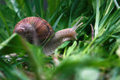 Snail in the green gras after rain Stock Photos
