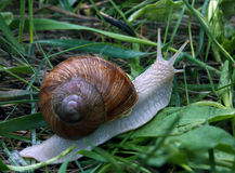Snail in the green gras after rain Stock Photo