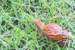 Snail on green grass. Stock Images