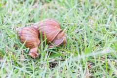 Snail on green grass. Royalty Free Stock Photography