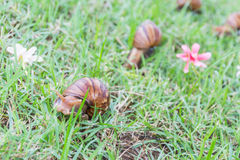 Snail on green grass. Royalty Free Stock Photo