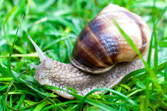 Snail on a green grass Stock Images