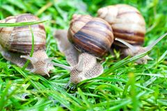 Snail on a green grass Royalty Free Stock Photography