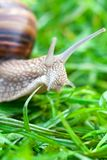 Snail on a green grass Stock Photos