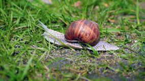 Snail in a green grass stock video footage