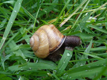 Snail among green grass in drops of rain Royalty Free Stock Photography