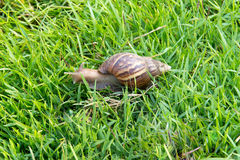 Snail in green grass Stock Photography