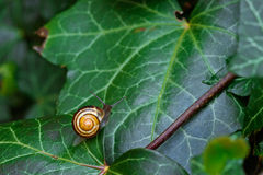 Snail on a green ivy leaf Royalty Free Stock Photo