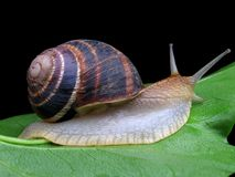 Snail on a green leaf. Over black Royalty Free Stock Photo