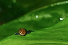 Snail on green leaf Royalty Free Stock Photography