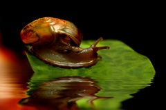 Snail on green leaf. With water reflection Stock Images